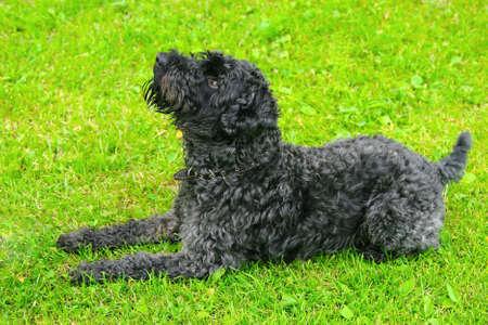 kerry: clever dog kerry blue terrier a lies on a grass