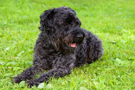kerry blue terrier: black dog kerry blue terrier breathes on the grass