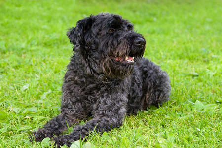 kerry: black dog kerry blue terrier breathes on the grass