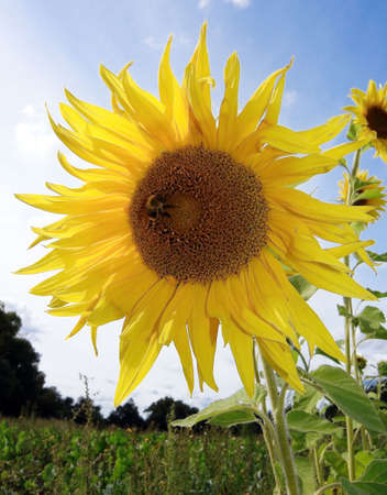 Sunflower with a bee collecting nectar photo