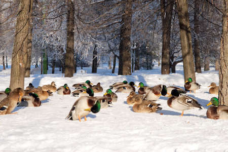 Group of ducks on snow in the winter photo