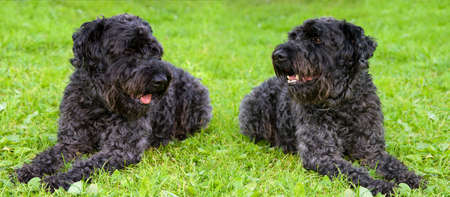 kerry blue terrier: kerry blue terrier. Two dogs lay on a lawn Stock Photo
