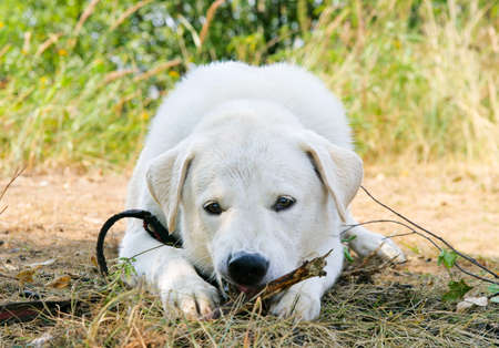 labrador teeth: Dog gnaws a stick and looks to the camera Stock Photo