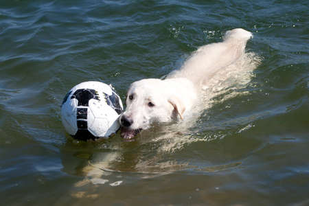 Dog  in the Water with  ball photo