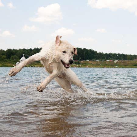 Hond springen in het water. Labrador speelt