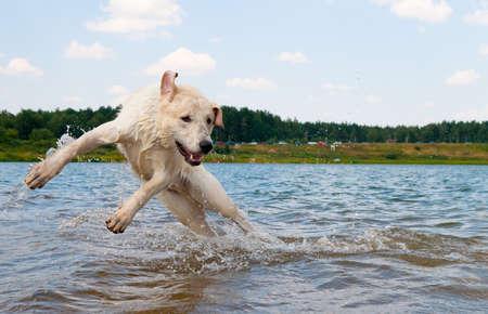 Hond springen in het water. Labrador speelt  Stockfoto