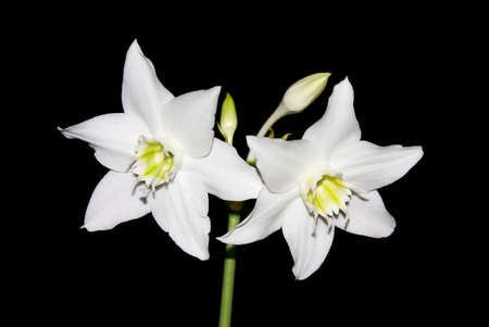 White narcissus on black photo