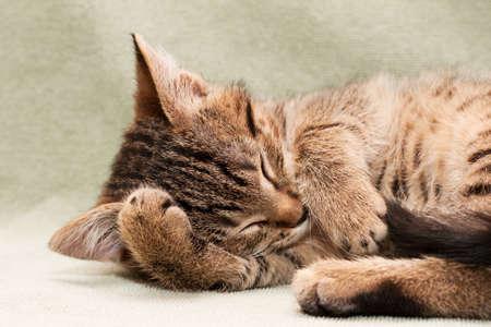 gato atigrado: Tabby cat acostado en la cama