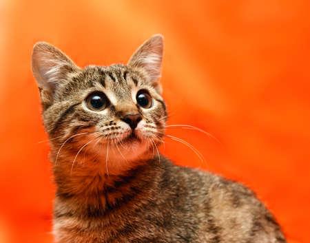 Close up of tabby cat on orange background photo