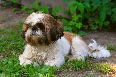 Shih Tzu dog on green grass photo