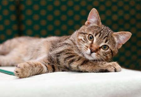 Gestreepte katkat die het onderzoeken camera leggen Stockfoto