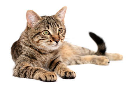 Tabby cat lying on white background Stock Photo