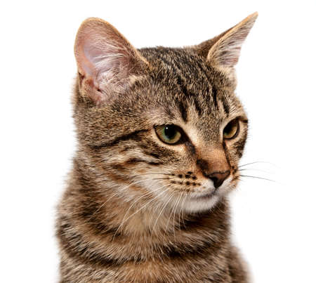 grey tabby: Artful cat on white background.  looks upwards
