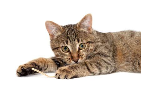 gato atigrado: Tabby Cat tendido y espera con inter�s