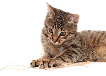 grey tabby: Tabby cat lying on white background Stock Photo