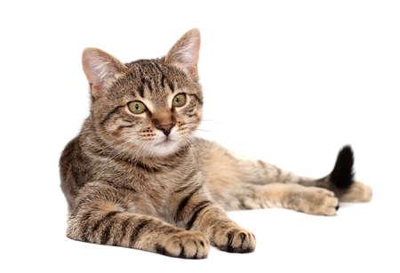Tabby kat liggend op een witte achtergrond