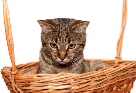 Striped Cat in basket on white photo