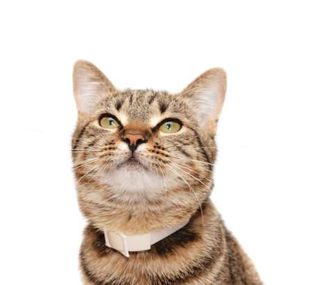 head collar: Striped cat in a collar looks upwards on a white background Stock Photo