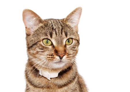 head collar: Striped cat in a collar looks  on a white background Stock Photo