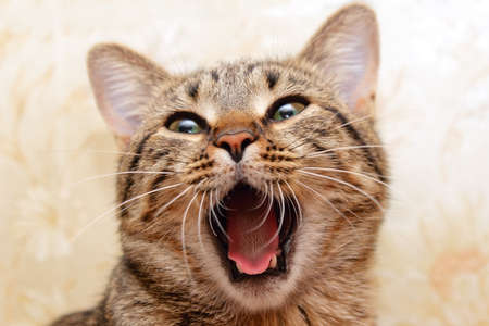 Cat yawning. Singing cat Foto de archivo