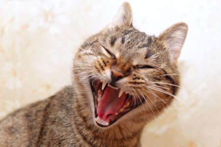 Cat yawning, yelling or laughing Stock Photo