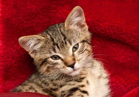 grey tabby: Striped Kitten on a red blanket Stock Photo