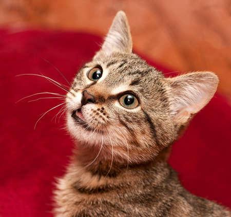 Gestreepte kat geïnteresseerd is iets wat op rood. Is er iets opende een mond