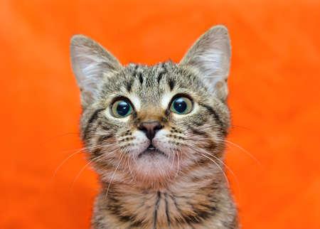 grey tabby: Muzzle of tabby cat on orange  Stock Photo