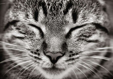 cat sleeping: Closeup of sleeping cat face   Black and white  Stock Photo