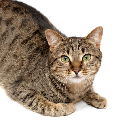 lying down: Tabby cat lying on white
