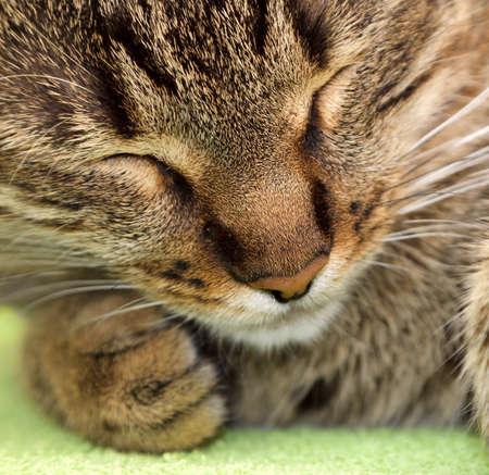 gray tabby: tabby cat sleeping on green  Stock Photo