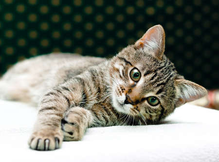 Tabby Cat laying on side looking into camera 版權商用圖片