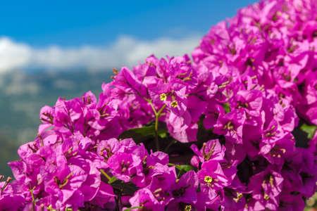 Bugenvilliya violet flowers against the sky