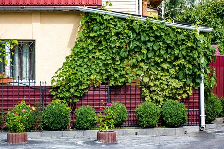 Red iron fence near the house, overgrown with grapes. Standard-Bild