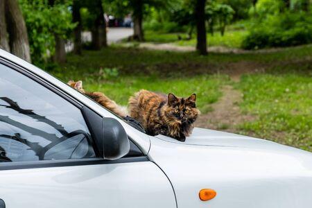 Homeless cat sitting on the hood of a white car. Фото со стока