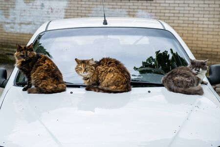 Three homeless cats sitting on the hood of a white car.