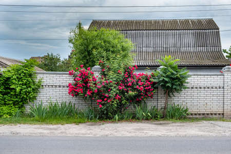 White brick fence against the background of natural greenery and a Bush of red roses.