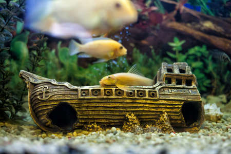 Beautiful yellow fishes float in a glass aquarium Stock Photo - 18265578