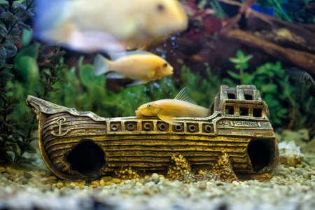 pez pecera: Hermosos peces amarillos flotando en un acuario de vidrio