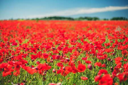 poppy: El campo con hermosas amapolas rojas en flor Foto de archivo