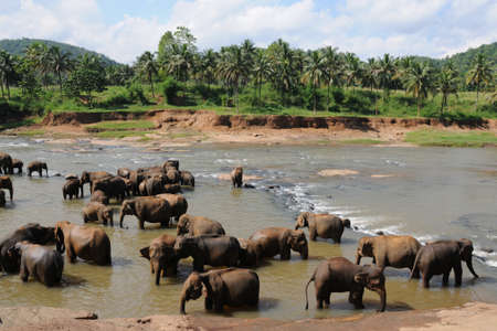 ceylon: Elephants in Ceylon