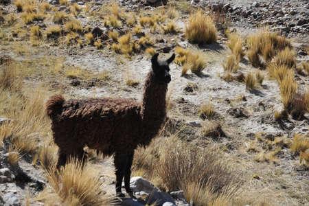 altiplano: Lamas. Altiplano. Bolivia