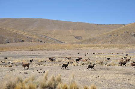 altiplano: Lamas. Altiplano