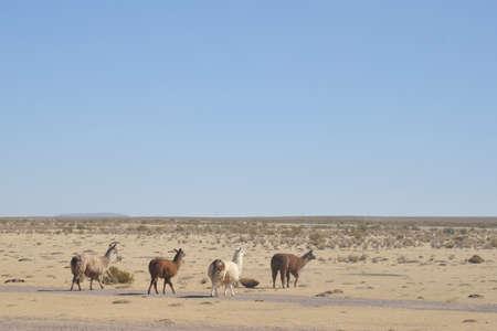altiplano: Lama in the vastness of the Altiplano