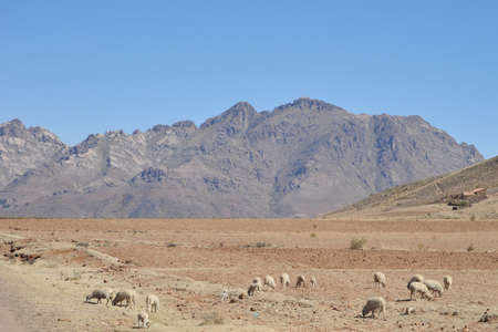 vastness: Sheep farming in the vastness of the Altiplano Stock Photo