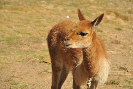 vicuna: Vicua on the shores of lake Titicaca