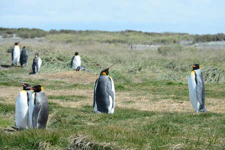 king penguins: King penguins on the Bay of Inutil
