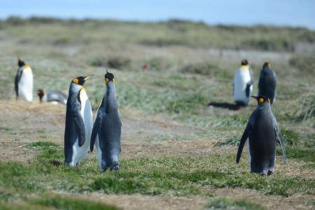 king penguins: King penguins on the Bay of Inutil.