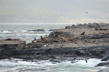 flavescens: South American sea lion, Otaria flavescens, breeding colony and haulout on small islets just outside Ushuaia.