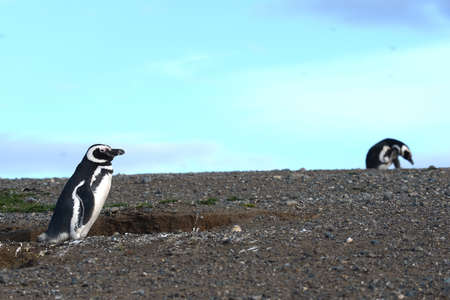 strait of magellan: Magellanic Penguins Spheniscus magellanicus at the penguin sanctuary on Magdalena Island in the Strait of Magellan near Punta Arenas in southern Chile. Stock Photo